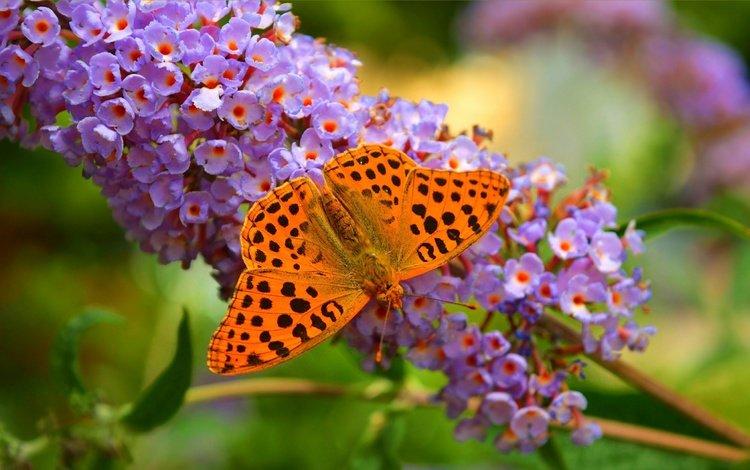 цветы, природа, макро, бабочка, крылья, насекомые, размытость, flowers, nature, macro, butterfly, wings, insects, blur