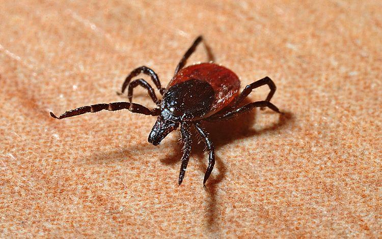насекомое, фон, лапки, клещи, клещ, insect, background, legs, mites, tick