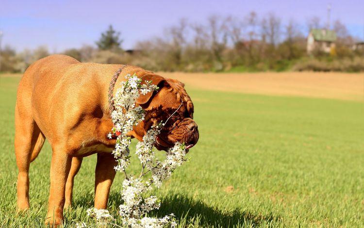 flowers, grass, dog, meadow, lawn, dogue de bordeaux, french mastiff