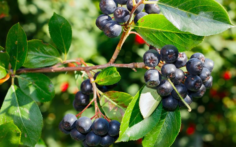 branch, leaves, berries, shrub, rowan, closeup, aronia, chokeberry