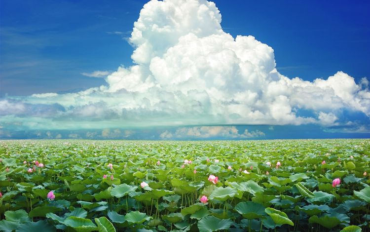 the sky, flowers, clouds, nature, flowering, shore, leaves, landscape, foliage, summer, pond, plant, lotus