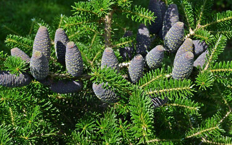 nature, needles, branches, bumps, fir, bumps.fir