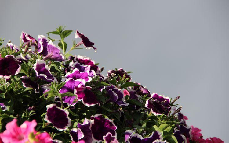 the sky, flowers, nature, petals, plant, petunia