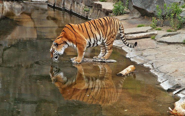 тигр, большая кошка, зоопарк, tiger, big cat, zoo
