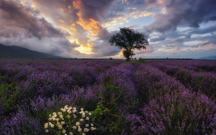 небо, цветы, облака, дерево, поле, лаванда, ромашки, болгария, the sky, flowers, clouds, tree, field, lavender, chamomile, bulgaria
