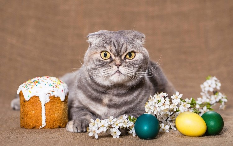 цветы, праздник, фон, кулич, кот, шотландская, кошка, взгляд, вислоухая, весна, шотландская вислоухая, веточка, пасха, яйца, eggs, flowers, holiday, background, cake, cat, scottish, look, fold, spring, scottish fold, sprig, easter