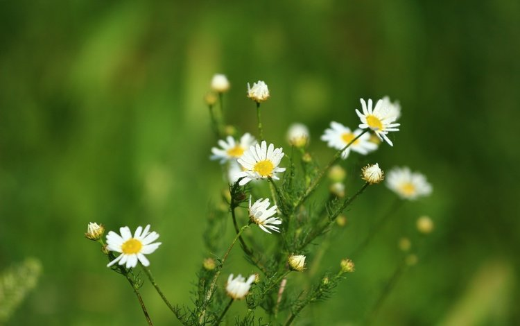 цветы, зелень, фон, лето, ромашки, flowers, greens, background, summer, chamomile