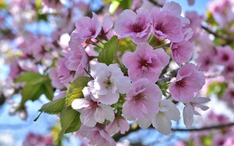 дерево, цветение, весна, tree, flowering, spring
