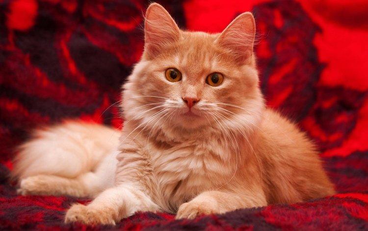 фон, кот, кошка, взгляд, котенок, пушистый, рыжий, плед, желтые глаза, yellow eyes, background, cat, look, kitty, fluffy, red, plaid