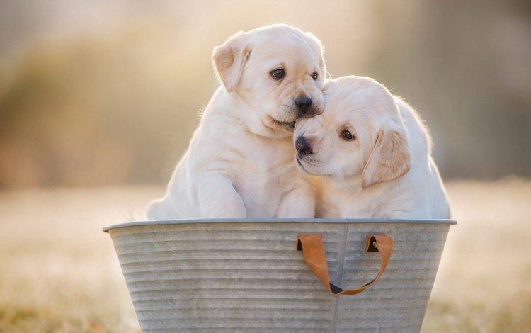 фон, лабрадор-ретривер, собака, милые, щенок, пара, белые, щенки, собаки, таз, background, labrador retriever, dog, cute, puppy, pair, white, puppies, dogs, taz