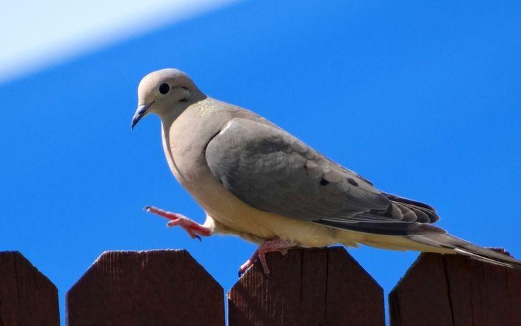 небо, дикий, природа, забор, крылья, птица, клюв, перья, голубь, the sky, wild, nature, the fence, wings, bird, beak, feathers, dove