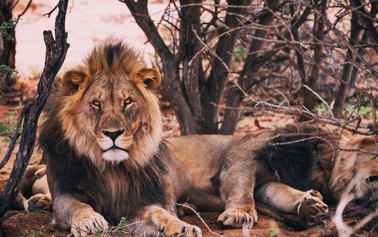 хищник, животное, лев, грива, predator, animal, leo, mane