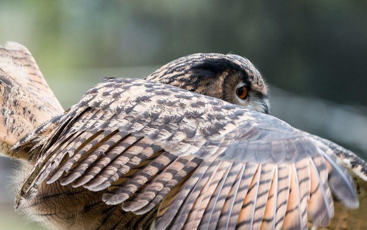 сова, природа, крылья, птица, перья, филин, крупным планом, owl, nature, wings, bird, feathers, closeup