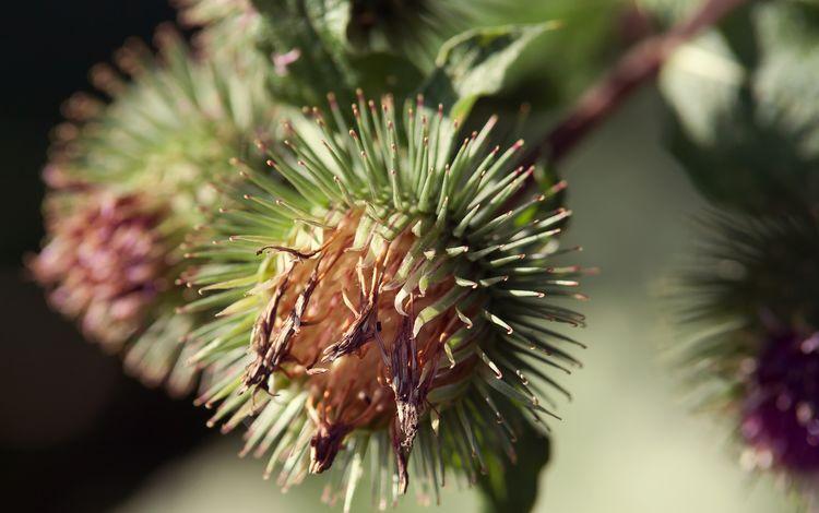 колючки, растение, соцветия, чертополох, barb, plant, inflorescence, thistle