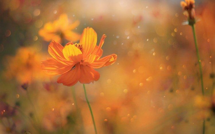 цветы, лепестки, блики, весна, стебли, космея, цвеы, flowers, petals, glare, spring, stems, kosmeya, zwei
