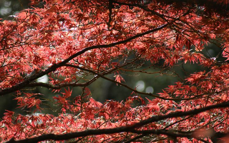 nature, tree, leaves, branches, branch, foliage, autumn, maple