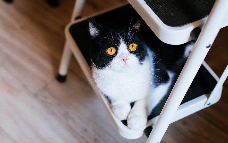лестница, кот, мордочка, усы, кошка, взгляд, пол, желтые глаза, стремянка, ladder, cat, muzzle, mustache, look, floor, yellow eyes