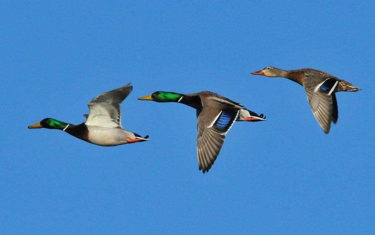 небо, крылья, птицы, клюв, утки, кряква, the sky, wings, birds, beak, duck, mallard