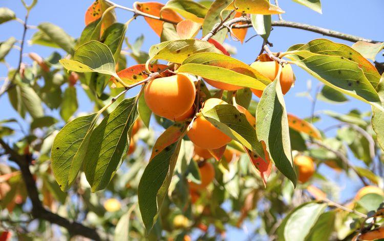 небо, дерево, листья, ветки, фрукты, плоды, хурма, the sky, tree, leaves, branches, fruit, persimmon