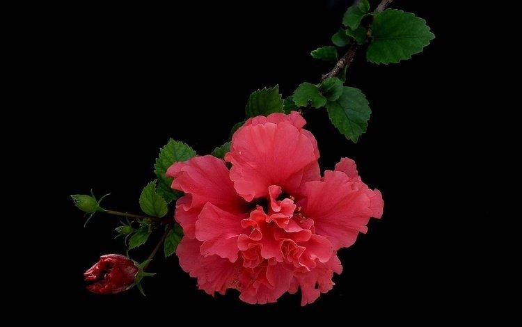природа, гибискус, листья, макро, фон, цветок, лепестки, красный, черный фон, nature, hibiscus, leaves, macro, background, flower, petals, red, black background