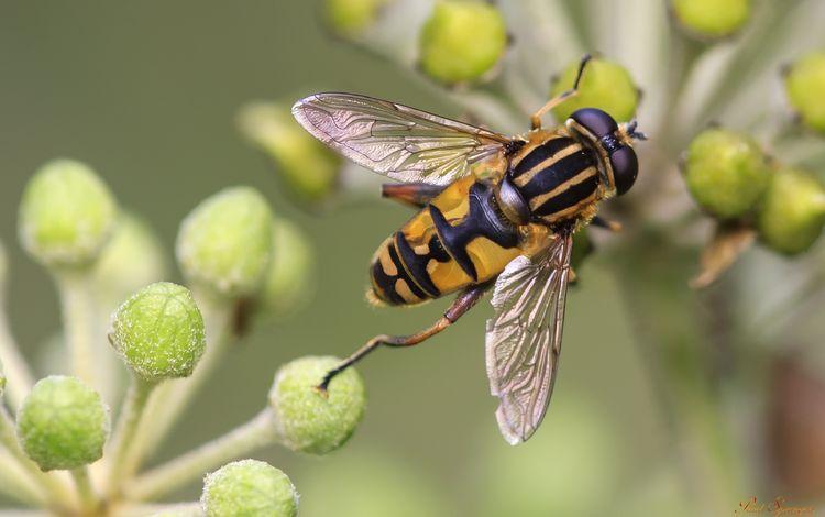 макро, насекомые, растение, муха, журчалка, macro, insects, plant, fly, gorzalka