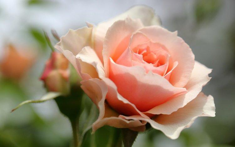 цветы, макро, роза, лепестки, бутон, боке, flowers, macro, rose, petals, bud, bokeh