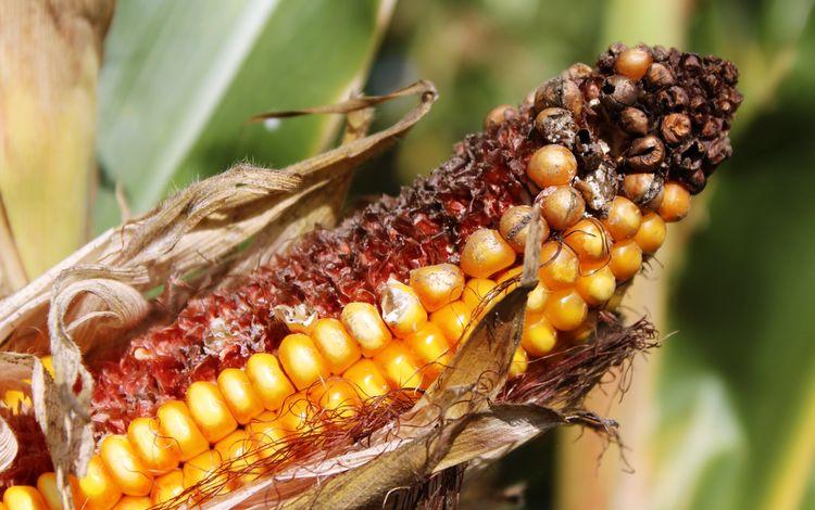кукуруза, овощи, зерно, злаки, крупным планом, початок, corn, vegetables, grain, cereals, closeup, the cob