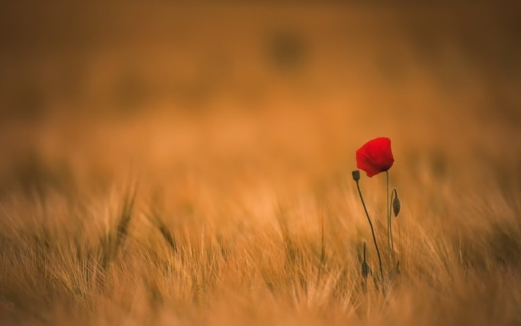 цветы, трава, поле, лето, мак, колоски, flowers, grass, field, summer, mac, spikelets