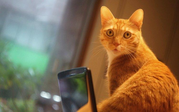 портрет, телефон, кот, рыжий, кошка, взгляд, удивление, стена, фотосессия, помещение, гаджет, выражение, смартфон, мордашка, мобильный, окно, window, portrait, phone, cat, red, look, surprise, wall, photoshoot, the room, gadget, the expression, smartphone, face, mobile