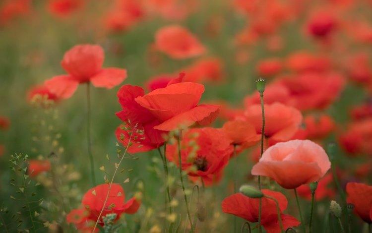 цветы, природа, лето, красные, маки, flowers, nature, summer, red, maki