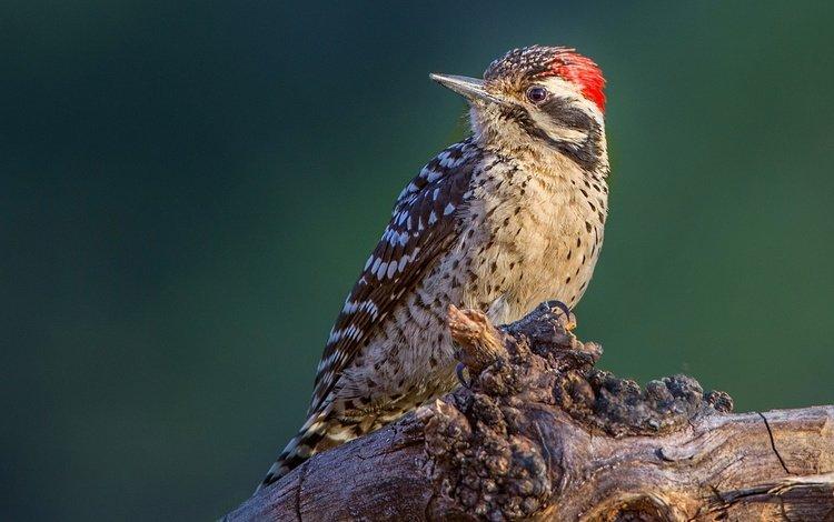 птица, клюв, оперение, дятел, bird, beak, tail, woodpecker