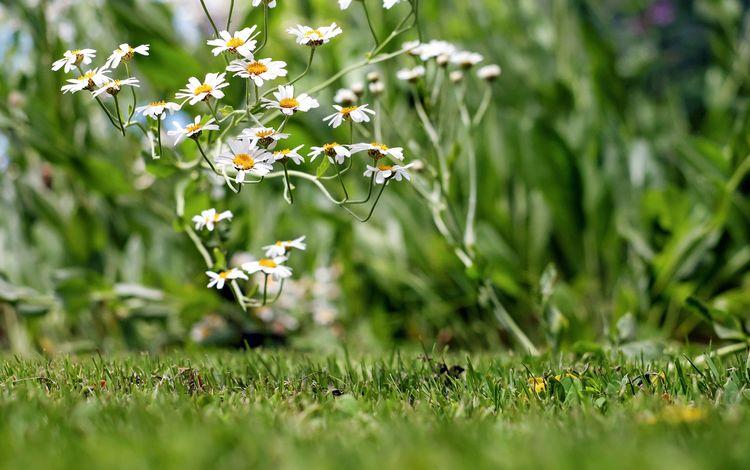 цветы, трава, лепестки, ромашки, белые, полевые цветы, боке, flowers, grass, petals, chamomile, white, wildflowers, bokeh