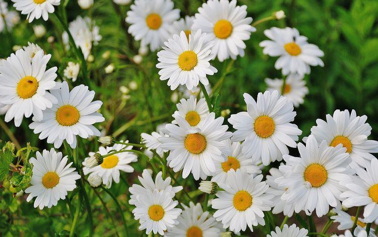 цветы, трава, лепестки, ромашки, белые, полевые цветы, flowers, grass, petals, chamomile, white, wildflowers