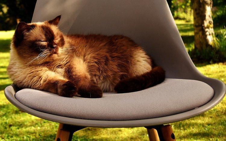 кот, мордочка, усы, кошка, стул, британская короткошерстная, британская короткошерстная кошка, cat, muzzle, mustache, chair, british shorthair