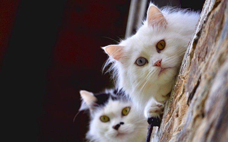 взгляд, белый, парочка, коты, кошки, чёрно-белый, мордашки, разные глаза, черно=белый, black white, look, white, a couple, cats, black and white, faces, different eyes