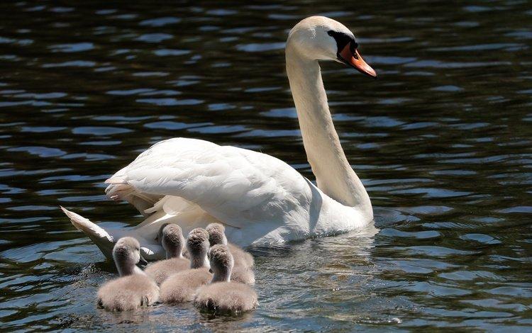 животные, лебедята, водоем, пернатые, птицы, лебеди, лебедь, птенцы, плывут, семейство, animals, the lebeda, pond, birds, swans, swan, chicks, float, family