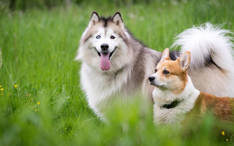 трава, природа, луг, хаски, язык, друзья, собаки, корги, grass, nature, meadow, husky, language, friends, dogs, corgi