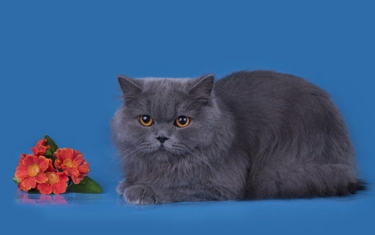 flowers, background, cat, muzzle, mustache, look, british