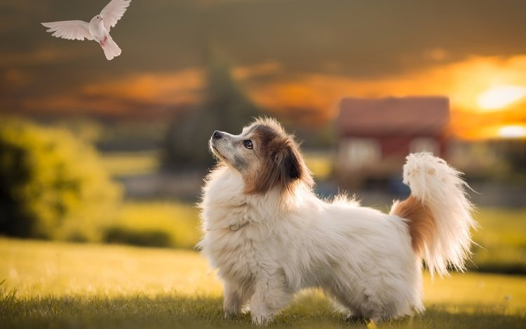 закат, папильон, поле, собака, дом, щенок, птица, голубь, солнечно, sunset, papillon, field, dog, house, puppy, bird, dove, sunny