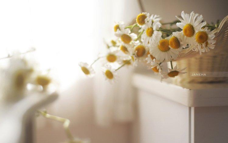 flowers, petals, blur, chamomile, white
