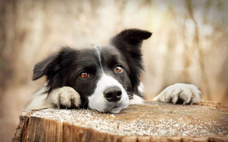 глаза, мордочка, взгляд, собака, пенек, бордер-колли, eyes, muzzle, look, dog, stump, the border collie