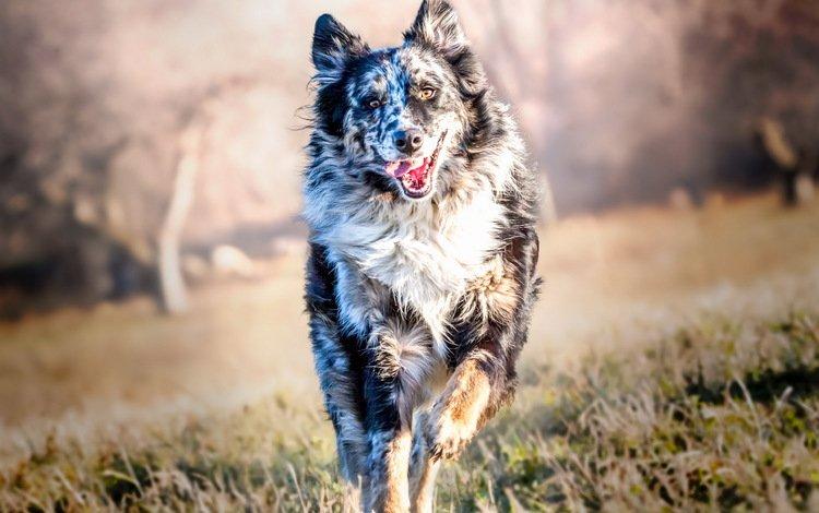 трава, бордер-колли, мордочка, лапы, взгляд, собака, язык, бег, австралийская овчарка, grass, the border collie, muzzle, paws, look, dog, language, running, australian shepherd