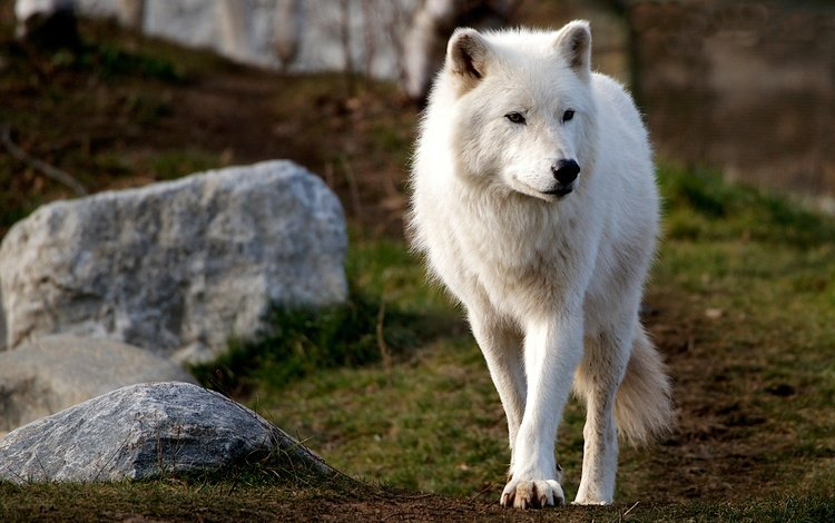 face, nature, stones, background, look, white, hill, wolf, polar, arctic wolf