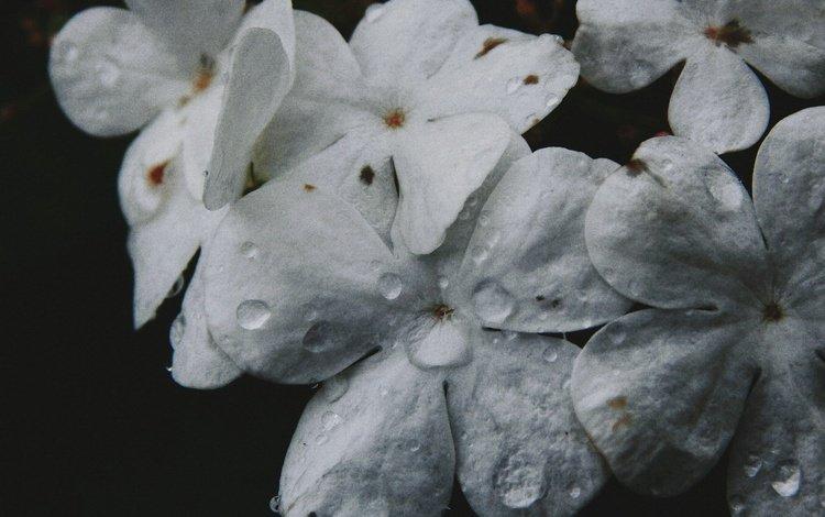 цветы, макро, капли, лепестки, черный фон, сирень, flowers, macro, drops, petals, black background, lilac