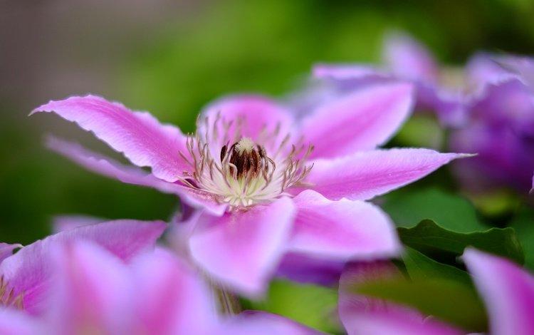 цветы, цветение, лепестки, клематис, flowers, flowering, petals, clematis