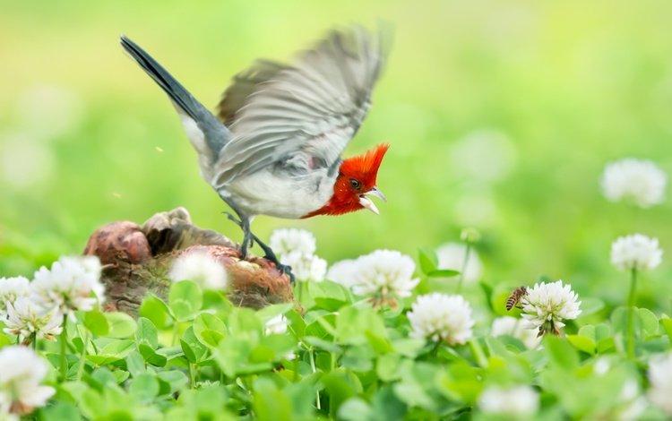 цветы, клевер, полет, птица, гнездо, овсянка, краснохохлая кардиналовая овсянка, flowers, clover, flight, bird, socket, oatmeal, krasnogora cardinaleway oatmeal