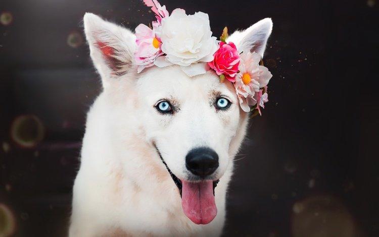 цветы, венок, мордочка, взгляд, собака, щенок, хаски, друг, язык, flowers, wreath, muzzle, look, dog, puppy, husky, each, language