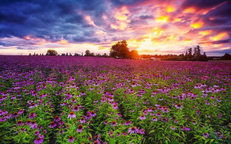 the sky, flowers, clouds, sunset, field, echinacea, pacific northwest