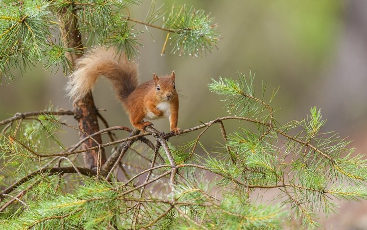 tree, needles, branches, protein, tail, pine, squirrel, rodent