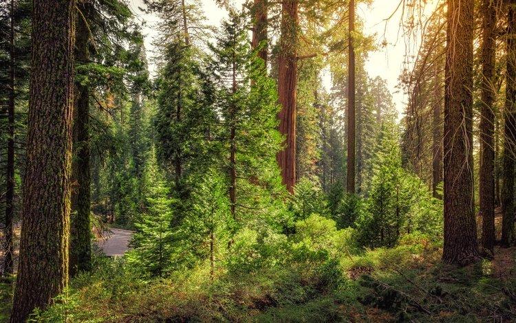 дорога, деревья, лес, кусты, сша, калифорния, king's canyon national park, road, trees, forest, the bushes, usa, ca